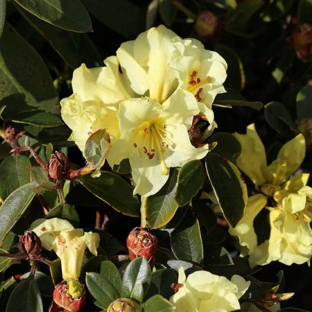Rhododendron Chrysomanicum Sept 2016