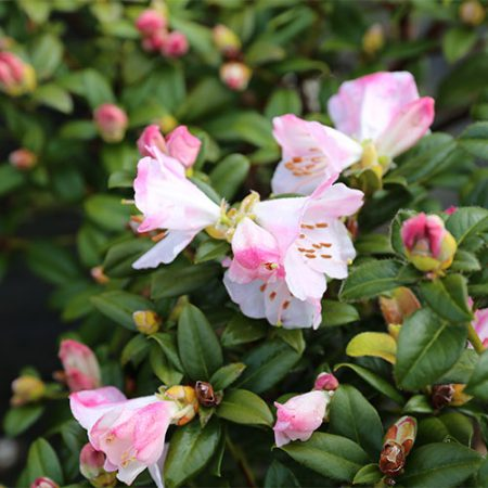 Rhododendron-Cilapanence-Flower-Sept-2015