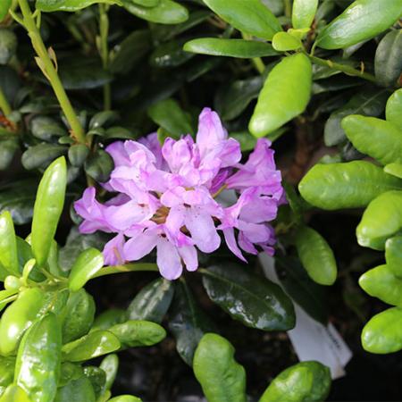 Rhododendron-Daphnoides-Nov-2015