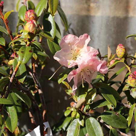 Rhododendron-Denise-flower-August-2015