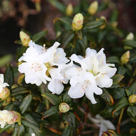 Rhododendron-Dora-Ameteis-Flower-Sept-2015