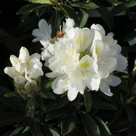 Rhododendron-Lemon-Ice-flower-Nov-2015