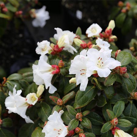 Rhododendron-Lucy-Lou-Flower-Sept-2015
