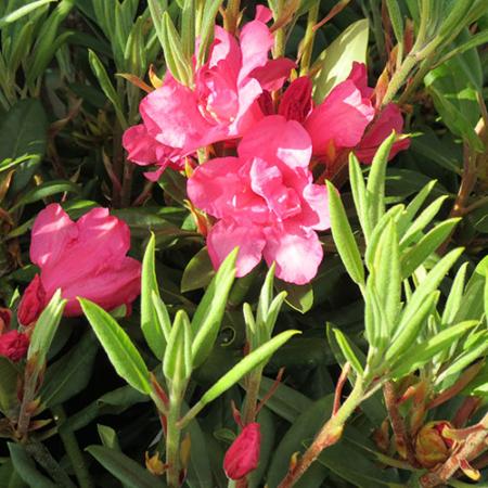 Rhododendron-Pink-Cameo-Nov-2015