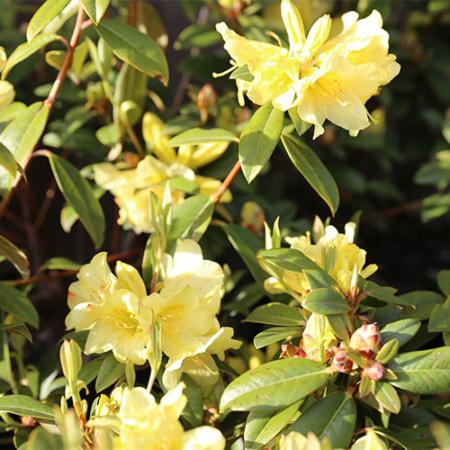 Rhododendron-Saffron-Queen-Oct-2015