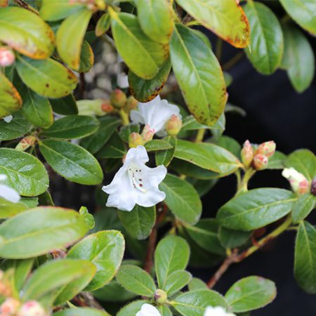 Rhododendron-Snow-Lady-Flower-Sept-2015