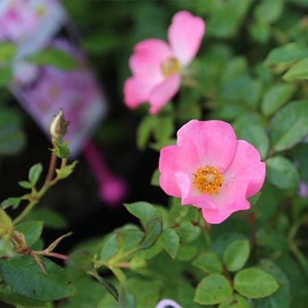 Rose-Simplicity-Pink-Baby-May-2015