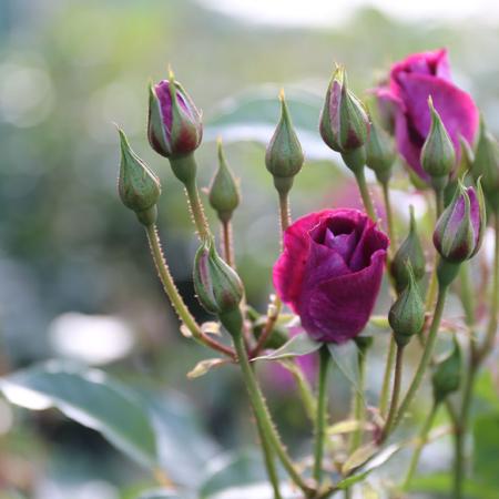 standard-rose-burgundy-oct-2016